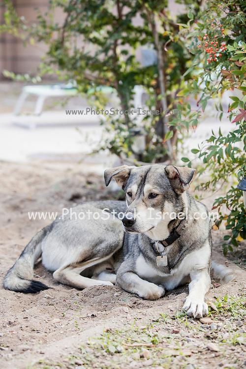A lazy dog lying in the yard