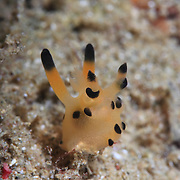 Yellow and black Thecacera nudibranch in Ambon, Indonesia