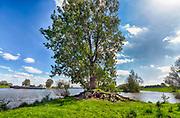 Nederland, Batenburg, Ravenstein, 2-5-2018Bakenbomen langs de rivier de Maas gaan verdwijnen door het uitsterfbeleid van Rijkswaterstaat. Bij hoog water zijn de bomen een hulpmiddel voor navigatie, een baken voor de schippers. De Maasoevers moeten volgens RWS vrij zijn van obstakels en dus worden de bomen niet meer vervangen . Deze bakenbomen zijn karakteristiek voor het landschap langs de Maas . De Maas krijgt de ruimte. Door de aanleg van natuurvriendelijke oevers ontstaat er een geleidelijke overgang van water naar land. Veel bewoners in het stroomgebied zijn teleurgesteld over dit beleid . Een binnenvaartschip vaart voorbij .Foto: Flip Franssen
