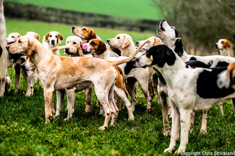 Bowden, Melrose, Scottish Borders, UK. 19th January 2019. The Duke of Buccleuch foxhounds flush foxes from cover to waiting guns near Bowden village in the Borders.