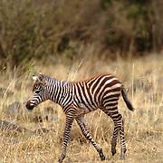 Burchell's Zebra, (Equus burchelli) Baby running. Masai Mara Game Reserve. Kenya. Africa.