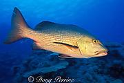 red reef snapper, or red bass to Australians, Lutjanus bohar, The Cod Hole, Ribbon Reefs, Great Barrier Reef, Australia ( Western Pacific Ocean )