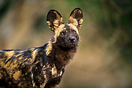 Meet the Lycaon pictus – commonly known as the painted wolf, African wild dog and Cape hunting dog. The reality is that it is neither a wolf nor a dog but in a separate genus of it's own – Lycaon. Taken in Mana Pools, Zimbabwe in 2016 it is one of my favourite photographs that catures the nobility of this great animal.