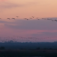 Cranes (Grus grus) fly over the Great Plain of Hortobagy (about 180 kilometres East of capital city Budapest), Hungary on Oct. 12, 2017. ATTILA VOLGYI
