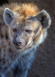 Although phylogenetically close to felines and viverrids, hyenas are behaviourally and morphologically similar to canines in several aspects (see Convergent evolution); both hyenas and canines are non-arboreal, cursorial hunters that catch prey with their teeth rather than claws. Both eat food quickly and may store it. Hyenas feature prominently in the folklore and mythology of human cultures with which they are sympatric. Hyenas are mostly viewed with fear and contempt, as well as being associated with witchcraft, as their body parts are used as ingredients in traditional medicine. Among the beliefs held by some cultures, hyenas are thought to influence people's spirits, rob graves, and steal livestock and children.