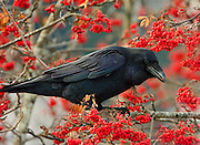 Alaska. Common Raven (Corvus corax) eating Mountain Ash berries, Seward.