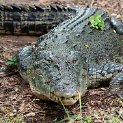 Living with Saltwater Crocs