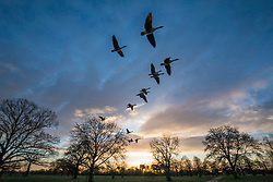 © Licensed to London News Pictures. 08/12/2017. London, UK. Geese fly overhead at sunrise on a cold winter morning in Bushy Park. Forecasters recorded subzero overnight temperatures as Storm Caroline hits Britain. Photo credit: Rob Pinney/LNP