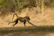 A Chacma baboon (Papio ursinus) running through grassland in Matobo National Park, Zimbabwe. © Michael Durham / www.DurmPhoto.com