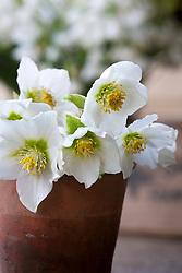 Cut flowers of Christmas rose (Helleborus niger) in a glazed terracotta pot