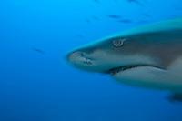 Lemon Shark Profile, Movement