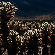 United States, California, Joshua Tree national park, Cholla cactus garden.