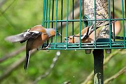 Derwent Dam car park chaffinches argue while foraging on a  bird feeder<br /> <br />  Copyright Paul David Drabble<br />  15th April 2019<br />  www.pauldaviddrabble.co.uk