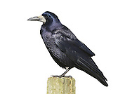 Rook Corvus frugilegus L 43-48cm. Familiar farmland bird. Feeds in large flocks (mainly on soil invertebrates) and occupies noisy colonial tree nest sites. Sexes are similar. Adult has black plumage with reddish-purple sheen. Bill is long, narrow and rather pointed; note bare patch of whitish skin at base. Juvenile is similar but skin at base of bill is feathered. Voice Utters a grating craah-craah-craah… call. Status Locally common resident, found mainly on farmland and grassland. Builds large twig nests in clumps of tall trees