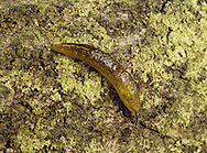 Yellow Slug - Limax flavus
