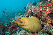 Green Moray (Gymnothorax funebris), the largest moray species in the Western Atlantic and Caribbean.