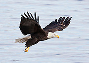 In a spectacular dive, the eagle grabbed the fish with the talons of only one foot. The fish was slippery and wiggly, so unfortunately the eagle dropped its prize.