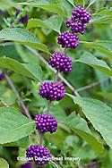 65821-00318 American Beautyberry (Callicarpa americana) North Carolina Botanical Garden, Chapel Hill, NC