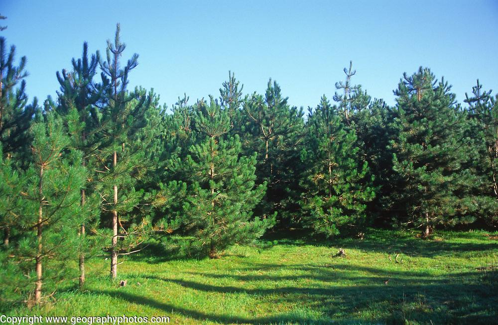 A07WWE Conifer trees Suffolk Sandlings England