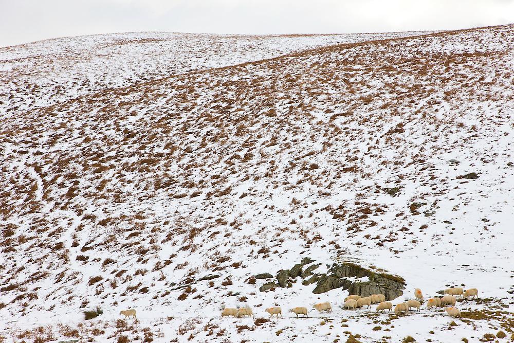 Sheep (Ovis aries), Hills in the Powys County, Rhayader, Mid-Wales, UK  ,OVEJAS, COLINAS EN EL CONDADO DE POWYS, RHAYADER, GALES MEDIO, REINO UNIDO