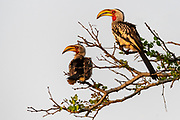 Pair of southern yellow-billed hornbill (Tockus leucomelas) from Zimanga, South Africa.