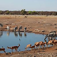 Africa, Namibia, Etosha. Black Faced Impala in Etosha National Park.