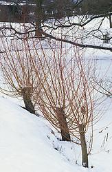 Red stems of willow in winter snow at Great Dixter - Salix alba 'Chermesina' syn. S. alba subsp. vitellina 'Britzensis'
