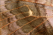 Close-up abstract of the wing pattern and texture of a Poplar hawk-moth (Laothoe populi) in a Norfolk garden in summer