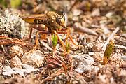 Hornet robberfly (Asilus crabroniformis) on heathland. Arne, Dorset, UK.
