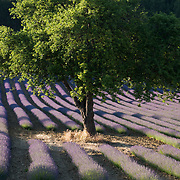 Lavender fields in southern France.