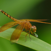Dragonfly feeding on small insect it caught. Java, Indonesia.