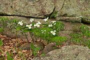 Large flowered trillium (Trillium grandiflorum) <br />Rosseau<br />Ontario<br />Canada