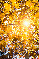 Sun shining through autumn leaves, Bavaria, Germany
