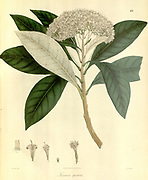 Leucomeris spectabilis From Plantae Asiaticae rariores, or, Descriptions and figures of a select number of unpublished East Indian plants Volume II by N. Wallich. Nathaniel Wolff Wallich FRS FRSE (28 January 1786 – 28 April 1854) was a surgeon and botanist of Danish origin who worked in India, initially in the Danish settlement near Calcutta and later for the Danish East India Company and the British East India Company. He was involved in the early development of the Calcutta Botanical Garden, describing many new plant species and developing a large herbarium collection which was distributed to collections in Europe. Several of the plants that he collected were named after him. Published in London in 1831