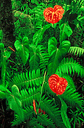 Anthurium flowers in a tree fern forest, Puna District, The Big Island, Haw