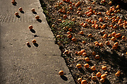 Ripe tanjareens scattered on the ground in an empty vacation resort in Lesvos.