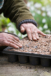 Taking Crambe cordifolia root cuttings. Covering module seed tray with grit