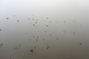 © Licensed to London News Pictures. 11/12/2013. London, UK. Birds are reflected int he calm foggy waters.  Fog along the banks of the River Thames in Hammesmith, West London this morning 11th December 2013 . Photo credit : Stephen Simpson/LNP