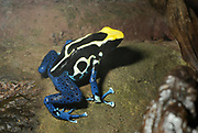 Close-up of a Dyeing Dart Frog or Poison Dart Frog (Dendrobates tinctorius) in a controlled environment at the Blue Planet reptile house Cheshire