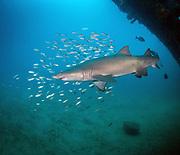 Sand tiger shark on USCGC Spar Shipwreck in North Carolina, USA