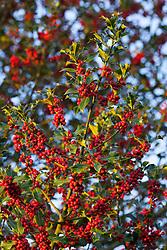 Holly berries. Ilex aquifolium