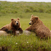 Alaskan Brown Bear (Ursus middendorffi)  Cubs resting on drift wood. Cute. Katmai National Park. Alaska.