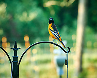 Baltimore Oriole. Image taken with a Nikon D850 camera and 200 mm f/2 VR lens