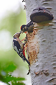 Les Gibbon - Great Spotted Woodpecker feeding chick