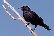Fish Crow - Corvus assifragus