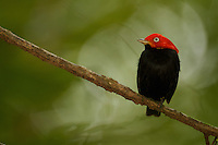 Red-capped Manakin (Pipra mentalis)<br />Adult male at a display perch.<br /><br /><br />Location:  N 09º09.38', W79º44.56'<br />Soberama National Park, Gamboa, Panama
