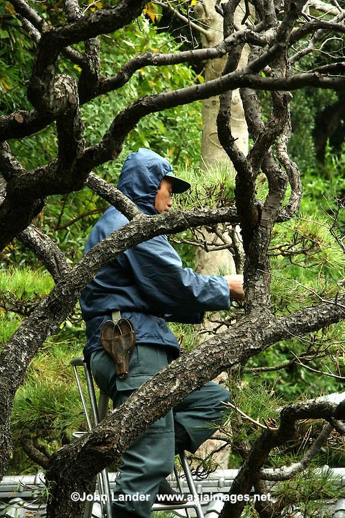 Japanese Gardener Pruning a Tree