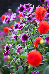 Dahlia 'Blue Bayou' with Dahlia 'Happy Halloween'