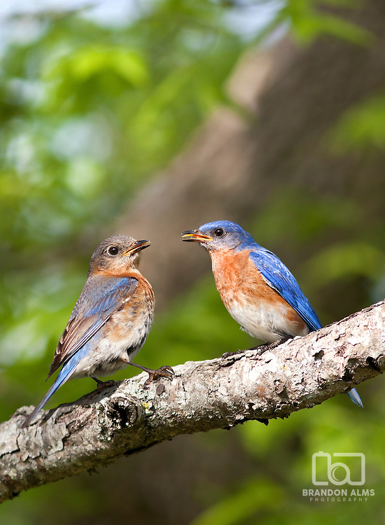 A closeup shot of a mating pair of bluebirds (Sialia sialis).