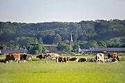 Nederland, Persingen, 25-5-2011Koeien in een weiland tegen de achtergrond van de stuwwal en het kerkje van Persingen. Persingen is een dorp in de gemeente Ubbergen, in de Nederlandse provincie Gelderland. Persingen ligt in de Ooijpolder. Met zijn 89 inwoners,34 woningen, wordt het dikwijls bestempeld als het kleinste dorp van Nederland. Het dorpje heeft een laat-middeleeuws gotisch kerkje, dat dienst doet als tentoonstellingsruimte en trouwlocatie en dat ook gebruikt wordt voor uitvaarten. In het verleden is Persingen groter geweest, maar het dorp was kwetsbaar voor overstromingen en in 1809 werd het vrijwel geheel verzwolgen door de Waal. Het resterende Persingen ligt op een donk, een rivierduin.Foto: Flip Franssen/Hollandse Hoogte